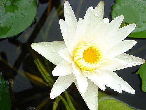 hoa sen trong bun 60996b011e0c0